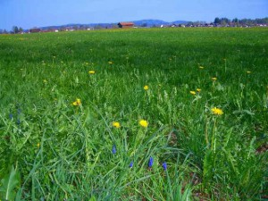 たんぽぽや菜の花畑